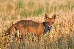 Red fox with prey Stock Photos