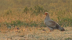 Egyptian vulture in sunrise morning eating carcass in high mountain Stock Footage
