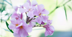 Pink Oleander flower moving in the wind 4K Stock Footage