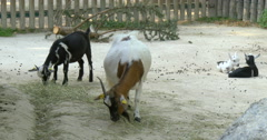 The wild goat (Capra aegagrus) is a widespread species of goat, Vienna zoo, 4k Stock Footage