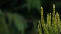 Macro shot of a common heather (Calluna vulgaris) Stock Footage