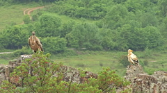Egyptian vulture eating carcass landed on a rock in high mountain Stock Footage