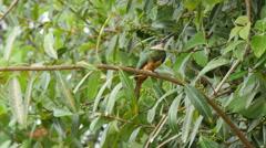 Rufous-tailed jacamar, 4k Stock Footage