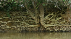 Tree roots eroded riverbank, 4k Stock Footage