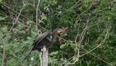 Neotropic cormorant, armoured catfish, slowmo Stock Footage