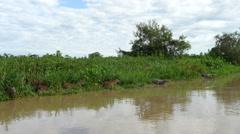Capybaras, caimans, Pantanal, 4k Stock Footage