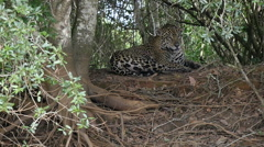 Jaguar lying, Pantanal, slowmo Stock Footage