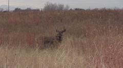 Nice Mule Deer Buck and Doe Stock Footage