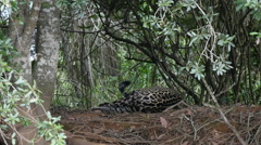 Jaguar lying, Pantanal, slowmo Stock Footage