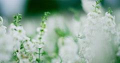 White flower field 4K Stock Footage
