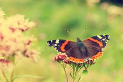 Red admiral, vanessa atalanta Stock Photos