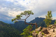 Pine, most famous tree in pieniny mountains, poland Stock Photos