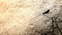 Black dragonfly perched on a leaf and brown rock of background Stock Footage