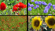 Stock Video Footage of Four Panel Split Screen Video with Blooming Summer Flowers