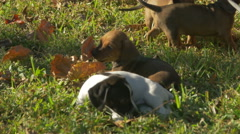 dachshund puppies playing with leaf 4K - stock footage