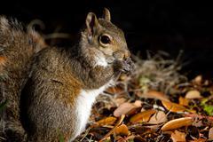 eastern gray squirrel, sciurus carolinensis - stock photo