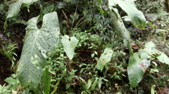 Interior of cloudforest pan from large leaved Anthurium to a stream Stock Footage