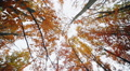 Magnificent autumn trees in forest Footage