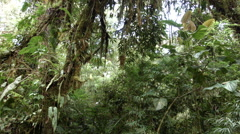 Stock Video Footage of Interior of cloudforest tilt  down  from epiphyte laden trees to Anthurium