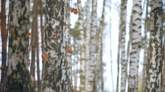 Birches in autumn forest Stock Footage