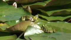 European Green Frog (Rana esculenta) courtship + leap - close up Stock Footage