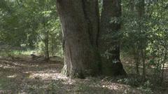 windswept live oak trunks 4K - stock footage