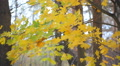 Autumn trees with multi-coloured leaves Footage