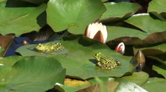 European Green Frog (Rana esculenta) courtship, croaking, approaching- close up Stock Footage