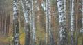 Birches in autumn forest 002 Footage