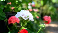 Stock Video Footage of geraniums in the wind