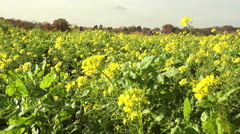 Rapeseed field in a sunny autumn day. Stock Footage