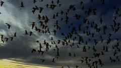 4K Birds Fly Into Sunset Stock Footage