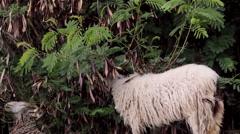 Flock of sheep grazing B Stock Footage