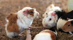 Guinea pig feeding, Close up. Stock Footage