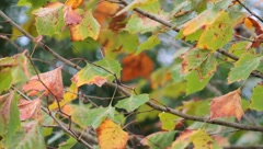 Autumn Leaves blowing in the wind in HD Fall season Close Up - stock footage