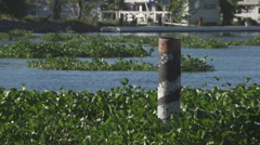 A Medium Shot of Delta Hyacinth Floating in Water Stock Footage