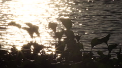 Siloutette of Delta Hyacinth Floating in Water at Dusk Stock Footage