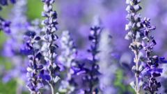 Purple Lavender flower field blowing in the breeze. Stock Footage