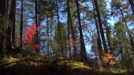 Stock Video Footage of 4K Vibrant Red Autumn Leaves Splash