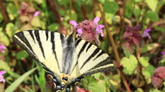 Beautiful swallowtail (Papilio machaon ) butterfly sucking nectar - stock footage
