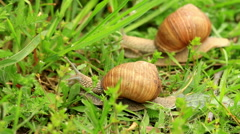 Burgundy snail (Helix pomatia) in the green grass - stock footage