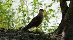 Southern crested caracara, slowmo Stock Footage