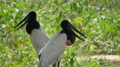 Jabiru storks, Pantanal, 4k Stock Footage