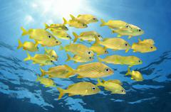 School of french grunt fish with sunlight - stock photo