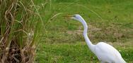 Stock Photo of great egret, ardea alba