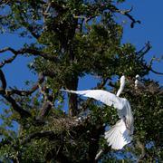 great egret, ardea alba - stock photo