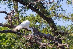 Great egret, ardea alba Stock Photos