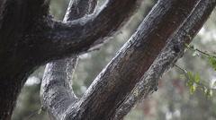 Rain on an oak tree Stock Footage