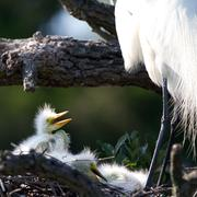 great egret, ardea alba - stock photo