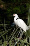 snowy egret, egretta thula - stock photo